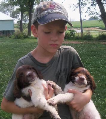 ... Gundogs: Field Bred English Springer Spaniel ESS Puppies Nebraska IowaEnglish Setter Iowa