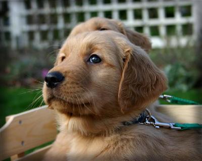 Haas Family Retrievers At Gun Dog Directory
