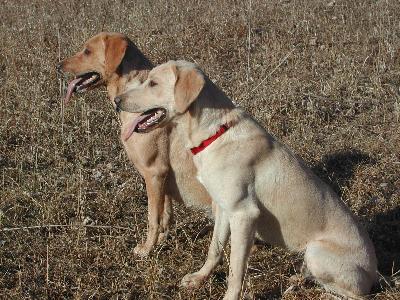 Aspen Breeze British Labradors At Gun Dog Directory