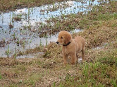 Hunting golden retriever puppies