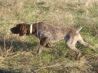 Gun dogs german shorthaired amp english pointer puppies for sale